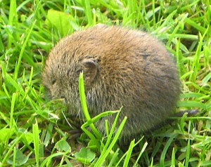 A baby bank vole, we decided