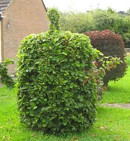 Hazel teapot topiary in Culmstock
